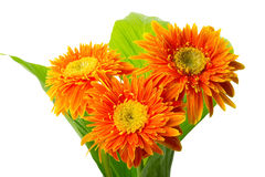 Gerbera bouquet on green leaf Stock Photography