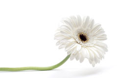 Gerbera branco Imagem de Stock Royalty Free