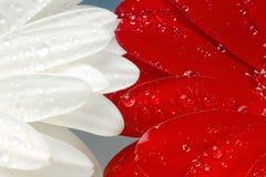 Gerbera branco e vermelho macro Fotografia de Stock