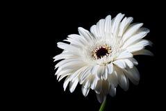 Gerbera branco no preto Imagem de Stock