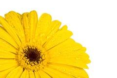 Gerbera a bright yellow flower stock photos