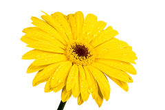 Gerbera a bright yellow flower Royalty Free Stock Photography