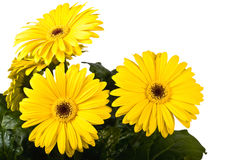 Gerbera a bright yellow flower Royalty Free Stock Photos