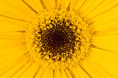 Gerbera a bright yellow flower close up Royalty Free Stock Photo
