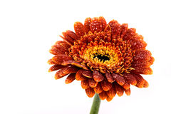 gerbera brun de fleur d'automne Image libre de droits