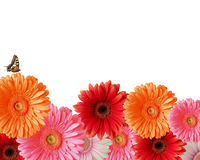 Gerbera with Butterfly Royalty Free Stock Photo