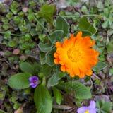 Gerbera Calendula flower Royalty Free Stock Images