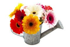 Gerbera can Stock Images