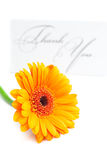 Gerbera and card signed thank you Royalty Free Stock Photos