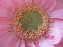 Gerbera Center da flor foto de stock royalty free