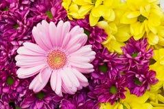 Gerbera and chrysanthemums Stock Photography