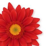 Gerbera Close-up Royalty Free Stock Photography