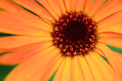 Gerbera close up. Macro / close up shot of a bright orange gerbera Stock Images