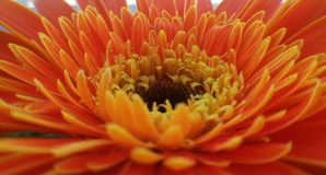 Gerbera flower macro detail  Royalty Free Stock Images