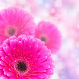 Gerbera close-up with bokeh effect Royalty Free Stock Images