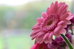 Gerbera. Close up of a pink gerbera flower in bloom stock image