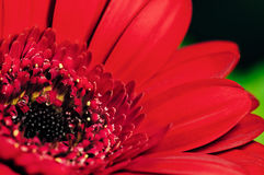 Gerbera close up red petals large flower.  stock photos
