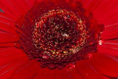 Gerbera Close-up with water drops. A close-up of the centre of a red gerbera flower with water drops on it Royalty Free Stock Photos