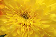 Gerbera closeup Royalty Free Stock Images