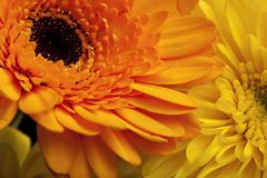 Gerbera closeup Royalty Free Stock Image