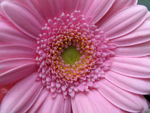 Gerbera closeup. Lovely macro shot of a gerbera - beautiful detail and symmetry stock image