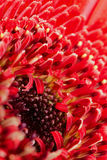 Gerbera. Closeup of a red Gerbera Stock Images