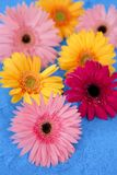 Gerbera colorful still over blue background Stock Image