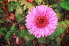 Gerbera colorido, rosado u opinión superior floreciente de la flor de la margarita de barberton en jardín fotografía de archivo libre de regalías