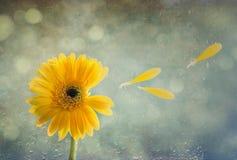 Gerbera con le gocce di pioggia Fotografia Stock
