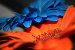 Gerbera in contrast colors Royalty Free Stock Photos