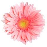 Gerbera cor-de-rosa Foto de Stock Royalty Free