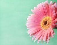 Gerbera cor-de-rosa 2 Fotografia de Stock