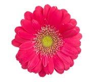 Gerbera cor-de-rosa Imagem de Stock