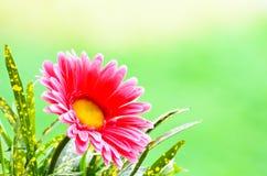 Gerbera cor-de-rosa. Fotos de Stock Royalty Free