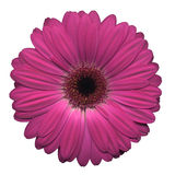 Gerbera cor-de-rosa Fotos de Stock Royalty Free