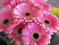 Gerbera cor-de-rosa atrativo brilhante bonito Daisy Flowers Bouquet imagens de stock royalty free