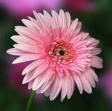 Gerbera cor-de-rosa bonito Foto de Stock Royalty Free