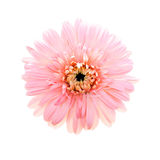 Gerbera cor-de-rosa bonito isolado Imagens de Stock