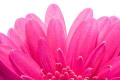 Gerbera cor-de-rosa com cervo preto Imagens de Stock Royalty Free
