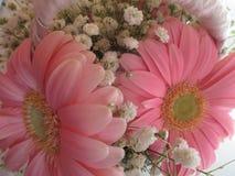 Gerbera cor-de-rosa com Gypsophila fotografia de stock royalty free