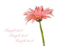 Gerbera cor-de-rosa da margarida Foto de Stock