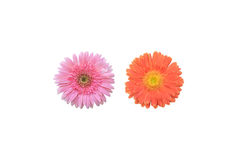 Gerbera cor-de-rosa e alaranjado Fotografia de Stock Royalty Free