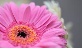 Gerbera cor-de-rosa e vermelho Imagens de Stock Royalty Free