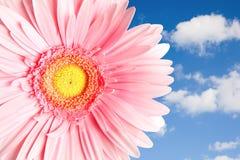Gerbera cor-de-rosa em um fundo com céu e nuvens Fotografia de Stock Royalty Free
