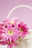 Gerbera cor-de-rosa na cesta com fim cor-de-rosa do fundo acima Imagem de Stock