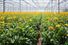 Gerbera cultivation in a Dutch glasshouse Royalty Free Stock Photo