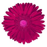 Gerbera d'amaranthe de fleur d'isolement sur le fond blanc Plan rapproché Photographie stock libre de droits