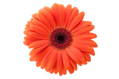 Gerbera d'isolement Image stock