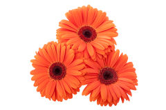Gerbera d'isolement Photos stock