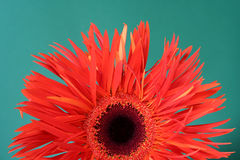 Gerbera d'isolement Photo stock